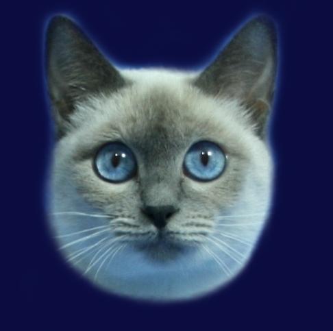 Thaylandia Ameliapl Hodowla Kotów Tajskich Koty Syjamskie